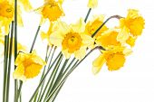 Bouquet Of Yellow Spring Daffodils Backlit