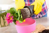Planting colorfull flower in a flowerpot at home. Soil, woman's hands in yellow gloves, flowerpot and flowers  on the table