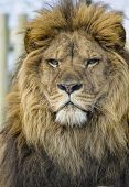picture of african lion  - Closeup portrait of a mighty african lion - JPG