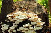 stock photo of fungus  - Oyster Fungus Growing on Dead Tree Stump - JPG