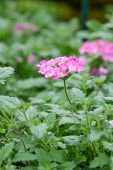 image of lantana  - pink lantana camara flower on green background - JPG
