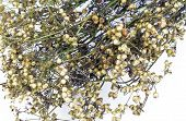 Coriander Seeds With Dry Stem