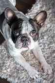 French bulldog lying down in the sunny living room