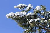 Iced Branch Of Pine Over Blue Sky