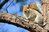 Cute American gray squirrel on tree branch