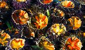 freshly cut sea urchins at the fish monger.