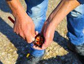 Cutting freshly caught sea urchins