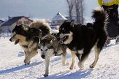 picture of sled  - Group of sled dogs running through lonely winter landscape