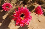 foto of desert christmas  - Pink blossoming flowers on a cactus in the desert - JPG