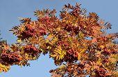 Bright Autumn Twig Of Red Rowan