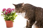 Grey Cat And A Bouquet Of Chrysanthemums