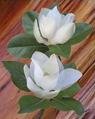 Magnolias on red cedar background