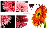 Collection Gerbera Flower On White Background