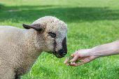 Hand feeding grass to lamb