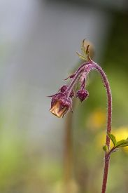 image of nod  - the water avens, nodding avens, drooping avens etc