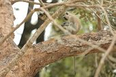 image of jungle  - Green monkey sitting on a tree in the jungle of Africa - JPG