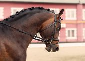 picture of bay horse  - beautiful bay horse in the dressage competition - JPG