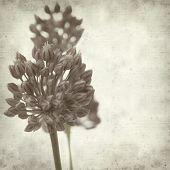 stock photo of leek  - textured old paper background with wild leek flowers  - JPG