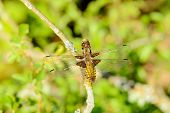 stock photo of broad-bodied  - Libellula depressa also known as the broad - JPG