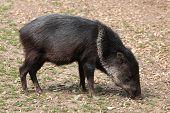 foto of wild hog  - Collared peccary  - JPG