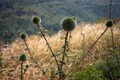 image of golan-heights  - Wild thorns with dry grass at the Golan Heights - JPG