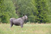stock photo of feeding  - Moose feeding in grass land - JPG