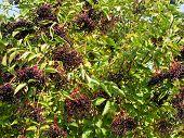 Ripe Sambucus nigra elder elderberry