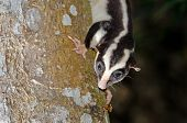 image of possum  - A Striped Possum climbing down a tree trunk - JPG