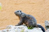 stock photo of marmot  - Molt Alpine marmot  - JPG