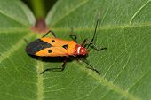 pic of leaf insect  - Close up of  colorful insect on green leaves - JPG