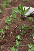 foto of weed  - hand with weed in the vegetable garden - JPG