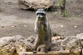 stock photo of raccoon  - Raccoon sitting and staring intently - JPG