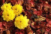 foto of chrysanthemum  - Background dried flowers and yellow flowers Chrysanthemum - JPG