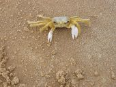 stock photo of crustations  - A Brazilian crab looking for a fight.