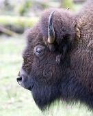 Buffalo1_Color