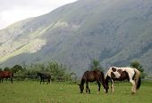 Horses Grazing With A Mountain