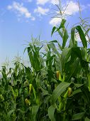stock photo of corn stalk  - Corn field with ears of corns on the stalk blue sky and white clouds - JPG