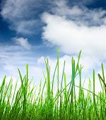Green wet grass and blue sky with fluffy clouds poster