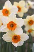 White Orange Daffodils