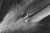 Feather With Water Drop