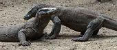 Komodo dragons. Rinca island. National park Komodo.