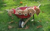stock photo of golden retriever puppy  - adorable golden retriever puppies in wheel barrel - JPG