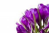 Crocus Flowers..