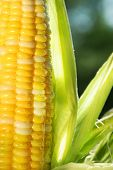 Close-up of an ear of corn with sun shining