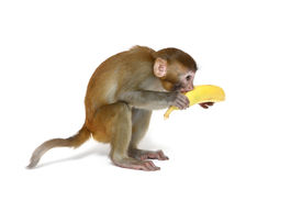 picture of funny animals  - Monkey with banana - JPG