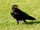 Black Raven On Grass
