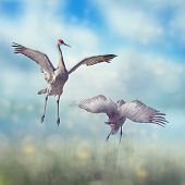 Pair of Sandhill Cranes  dance in the Florida wetlands.Digital art. poster