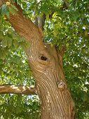 Chestnut Tree Trunk