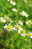 picture of naturist  - Close up of German Chamomile  - JPG