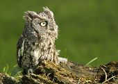 picture of screech-owl  - Profile of an Eastern Screech Owl sitting on a log - JPG